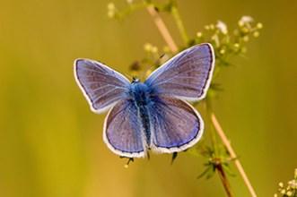 Zahlreiche seltene, gefährdete oder vom Aussterben bedrohte Pflanzen- und Tierarten konnten im NGP bis heute überleben. So findet auch dieser Schmetterling hier einen idealen Lebensraum.
