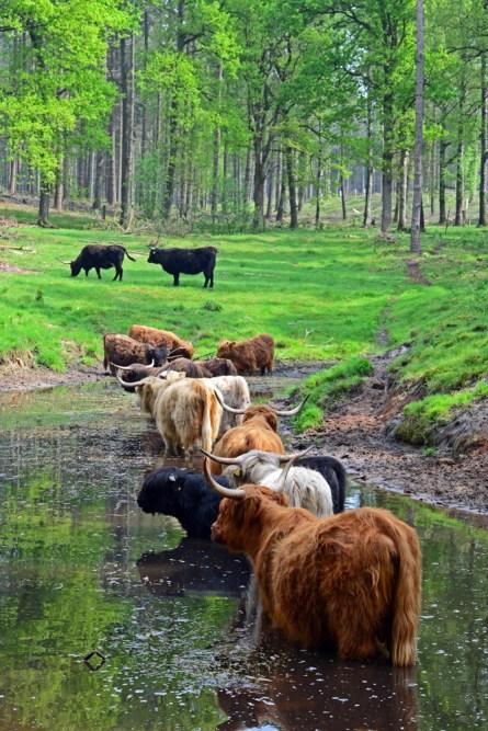 Schottische Hochlandrinder im NGP helfen beim Landschaftsschutz und sorgen dafür, das nicht alle Fläche wieder zuwachsen.