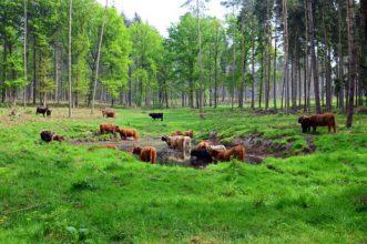 Die Schttischen Hochlandrinder lichtet den Wald im NGP Senne und Teutoburger Wald auf
